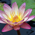 Pink Water Lily by Teresa Zieba