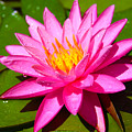 Pink Water Lily by Tina Meador
