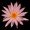 Pink Water Lily Transparent by Layla Alexander