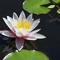 Pink Water Lily With Reflection In Dark Water by Susan Vineyard