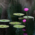 Pink Waterlillies by Carolyn Dalessandro
