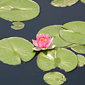 Pink Waterlily by Frank Russell