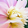 Pink White Dahlia Flower Soft Pastels Art Print Canvas Baslee Troutman by Baslee Troutman
