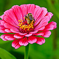 Pink Zinnia Bee by Emerald Studio Photography