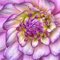 Pink Zinnia Close Up by Mark Kiver
