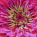 Pink Zinnia Glow by Beth Sawickie
