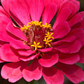 Pink Zinnia by Racquel Morgan