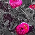 Pink Zinnias Against Grey Background by Debra Lynch