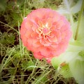 Pinkish Orange Zinnia On Green Background by Debra Lynch