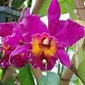 Pinkishyellow Orchid by Rob Hans