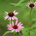 Pinks In Bloom by ShadowWalker RavenEyes Dibler