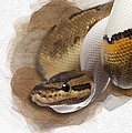Pinstripe Pied Royal Python 01 by Maria Astedt