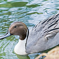 Pintail Portrait by Kate Brown