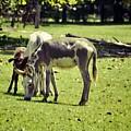 Pinto Donkey I by Jan Amiss Photography