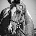 Pinto Pony Portrait Black And White by Jim And Emily Bush