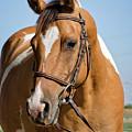 Pinto Pony Portrait by Jim And Emily Bush