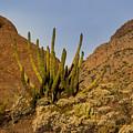 Pipe Organ Cactus At Sunrise by Jean Noren