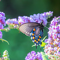 Pipevine Swallowtail 1 by Jim Thompson