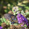 Pipevine Swallowtail 2 by Jim Thompson