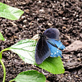 Pipevine Swallowtail Butterfly by Cynthia Woods