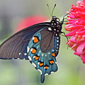 Pipevine Swallowtail Butterfly by David Freuthal
