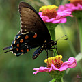 Pipevine Swallowtail Butterfly by Donna Brown