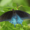 Pipevine Swallowtail Butterfly by Paul Rebmann