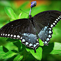Pipevine Swallowtail Butterfly by Saija  Lehtonen