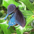 Pipevine Swallowtail by Charles Green