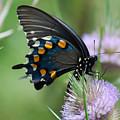 Pipevine Swallowtail by Randy Bodkins