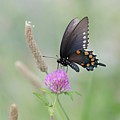 Pipevine Swallowtail by Susan Rissi Tregoning