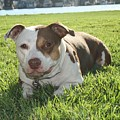 Pitbull In The Sun by Joshua Sunday