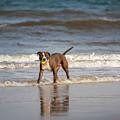 Pitbull Terrier by Peter Lakomy
