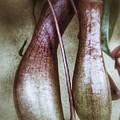 Pitcher Flower Sarracenia by Pedro Vit