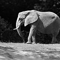 Placid Pachyderm by Paul Conner