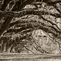 Plantation Drive Live Oaks by Dustin K Ryan