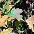Planting Fields / Leaves by Howard Rose