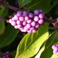 Planting Fields Purple by Howard Rose
