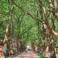 Platanus Avenue by Teresa Zieba