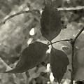 Platinum Leaves 6 by Jeff Breiman