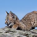 Playful Bobcat Kitten by Paul Burwell