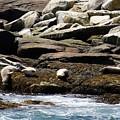 Playful Seals by Bonnie Brann