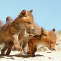 Playing Fox Kits by Roeselien Raimond