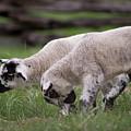 Playing Lambs by Buddy Scott