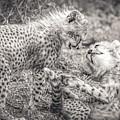 Playtime In Africa- Cheetah Cubs Acinonyx Jubatus by Cindi Alvarado