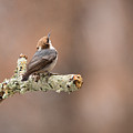 Please Stop The Rain - Brown-headed Nuthatch by Christy Cox