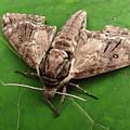 Plebeian Sphinx Moth by Joshua Bales