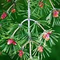 Plentiful Pine by Marilyn Hunt