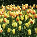 Plenty Of Tulips by Manuela Constantin