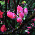 Plum Blossom 1 by Xueling Zou